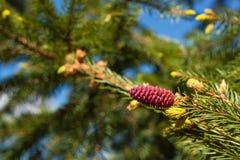 Branches de sapin fleurissant avec la forêt rouge de cônes au printemps image libre de droits