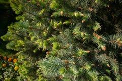 Branches de sapin sous la lumi?re du soleil lumineuse Fond photo stock