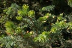 Branches de sapin sous la lumi?re du soleil lumineuse Fond image stock