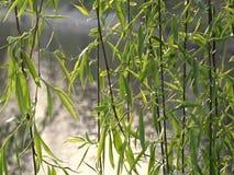 Branches de saule au-dessus de la rivière banque de vidéos