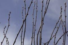 Branches de saule avec des bourgeons sur le fond du ciel de ressort photographie stock libre de droits