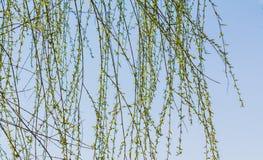 Branches de saule avec de jeunes feuilles en ciel bleu images stock