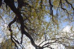branches de saule contre le ciel Lames de jaune photo stock