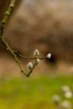 Branches de saule de chat Photo stock