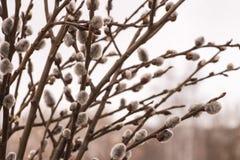 Branches de saule de chat photographie stock