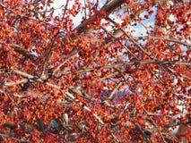 Branches de sorbe avec le sort de baies sèches Neige blanche au fond Photographie stock