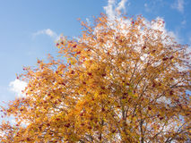 Branches de sorbe d'automne Image stock