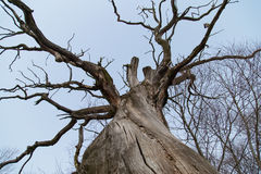 Branches of a dead giant tree Royalty Free Stock Photography