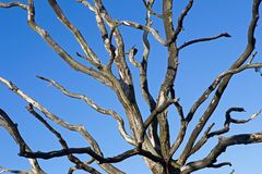 Branches of a dead tree Royalty Free Stock Photo