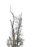 Branches of dead trees in tropical forests. Royalty Free Stock Image