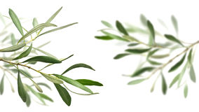 branches den olive treen Royaltyfri Fotografi