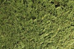 Branches denses de Cypress Tapis vert Image stock