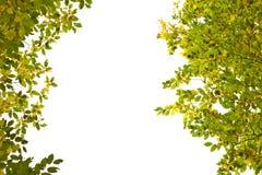 Branches des arbres avec des feuilles de jaune et de vert sur le backgrou blanc image stock