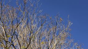 Branches des arbres secs et du fond de ciel bleu image libre de droits