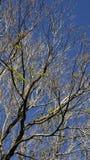 Branches des arbres secs et du fond de ciel bleu photos libres de droits
