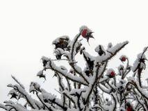 Branches des cynorrhodons dans la neige images stock