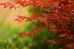 Branches des feuilles d'érable rouge avec des gouttes de pluie Photos libres de droits