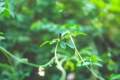 Branches des feuilles vertes molles de jeune bourgeon frais du grimpeur écartant sur le fond brouillé par usine naturelle de verd images stock