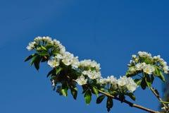 Branches des fleurs d'un arbre de conférence de poire Photographie stock libre de droits