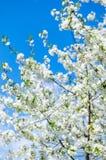 Branches des fleurs de cerisier de fleurs blanches au-dessus du ciel bleu Photos libres de droits