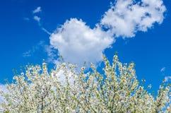 Branches des fleurs de cerisier de fleurs blanches au-dessus du ciel bleu Photo libre de droits