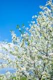 Branches des fleurs de cerisier de fleurs blanches au-dessus du ciel bleu Photographie stock
