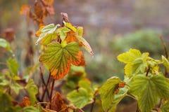 Branches des groseilles en automne avec des feuilles, qui commence à hurler photographie stock libre de droits