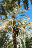 Branches des palmiers dattiers sous le ciel photographie stock