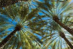 Branches des palmiers dattiers sous le ciel bleu images libres de droits