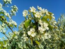 Branches des pommiers fleurissants Ressort image stock