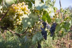 Branches des raisins de cuve dans les terrains géorgiens Fermez-vous vers le haut de la vue du raisin de cuve frais en Géorgie Vu Photographie stock