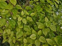 Branches des usines avec les feuilles vertes Images stock