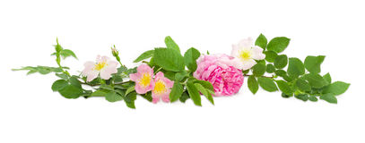 Branches of the dog-rose with different flowers close up Stock Photos
