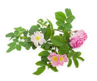 Branches of the dog-rose with different flowers close up Royalty Free Stock Photo