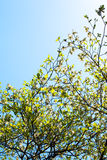 Branches of dogwood (Cornus florida) and blue sky Stock Photos