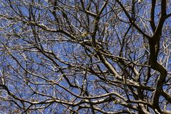 Branches of dried trees and blue sky background. A tree against a blue sky. stock photos