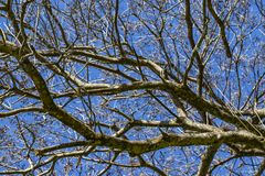 Branches of dried trees and blue sky background. A tree against a blue sky. royalty free stock photography