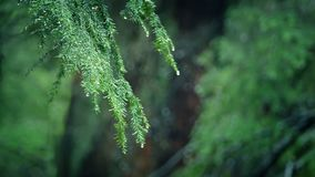 Branches Dripping In Forest Rainfall. Deep in the forest closeup of pine tree branch in the rain stock video