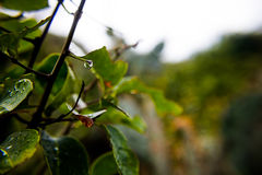 The branches drop After the Storm. Green Royalty Free Stock Images