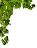 branches druvan Royaltyfri Bild