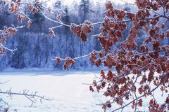 Branches with dry oak leaves covered with ice. On the south of the winter frozen forest lake Stock Photo