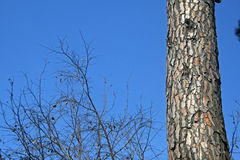 TRUNK OF PINE TREE. View of barren branches and tree trunk against a blue sky Stock Photo