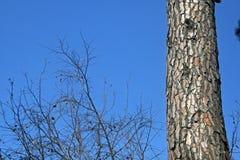 TRUNK OF PINE TREE Stock Photo