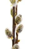 Branches du saule de chat avec le bourgeon fleurissant. D'isolement. photo stock