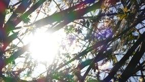 Branches du saule fleurissant, flottant sur le vent banque de vidéos