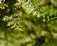 branches du thuja d'arbre Images libres de droits