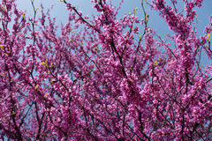 Branches of eastern redbud in full bloom Stock Images