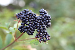 Branches of elder-berry Royalty Free Stock Photography
