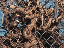 Branches empêtrées dans le maillon de chaîne Photos libres de droits