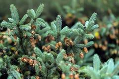 Branches en gros plan de sapin avec des cônes, hiver Noël, bonne année Fond naturel, couleurs vertes à la mode par Pantone Photographie stock